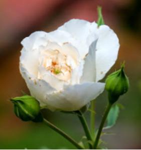 Im Namen der weißen Rose